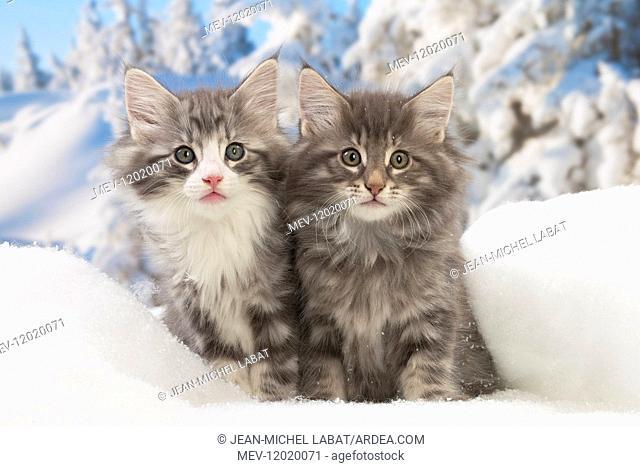 Norwegian Forest Cat, kittens in winter snow scene