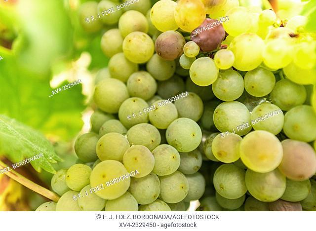 San Asensio vineyards, La Rioja, Logroño, Spain