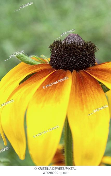 A red and yellow annual Rudbeckia Hirta blossom