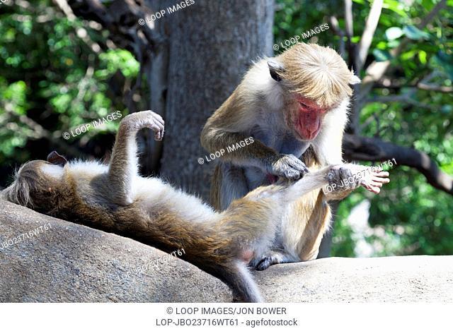 Toque Macaques at the Dambulla Golden Temple in Sri Lanka