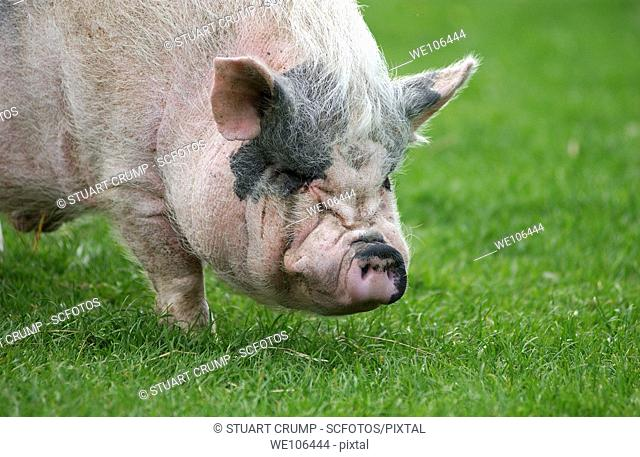 Pig grazing on grassland, Leicestershire, England