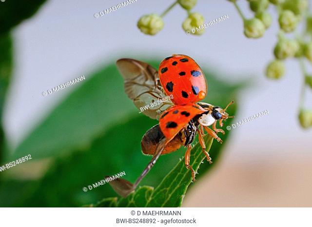 multicoloured Asian beetle Harmonia axyridis, taking off, Germany
