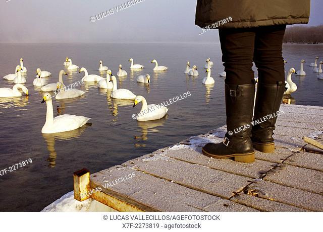 Tourist and Whopper Swans (Cygnus cygnus) in Lake Kussharo,Akan National Park,Hokkaido,Japan