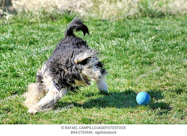 Tibetan terrier. Dog and blue ball