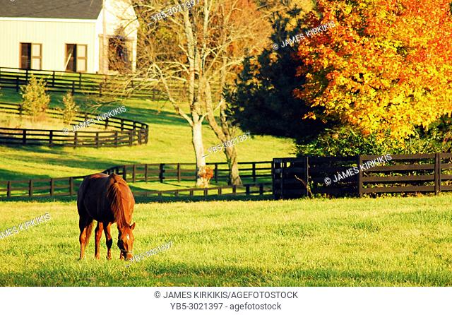 A horse grazes in a field surrounded by autumn color in the Blue Grass region of Kentucky