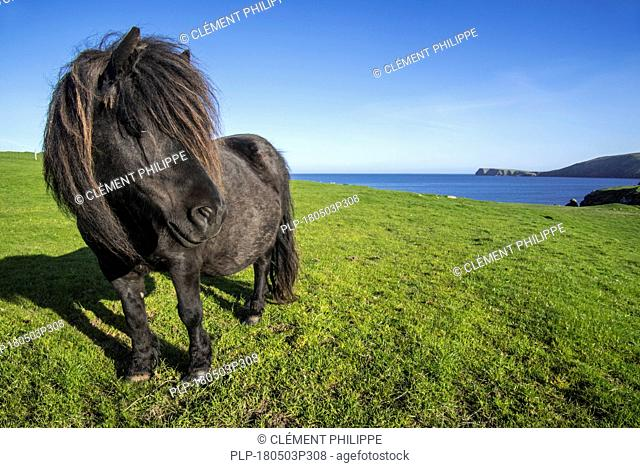 Black Shetland pony in field along the coast on the Shetland Islands, Scotland, UK