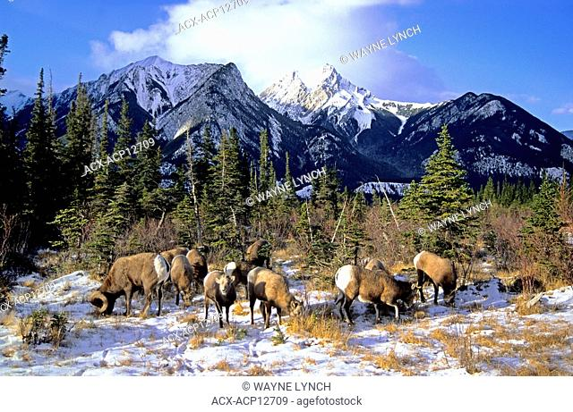 A mixed herd of bighorn sheep Ovis canadensis feeding and pawing in the snow, Alberta, Canada