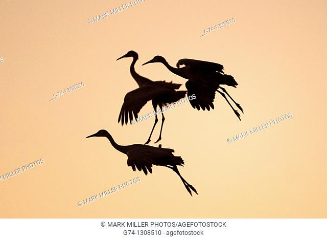 Three Sandhill Cranes Landing at Sunset Rocky Mountains USA