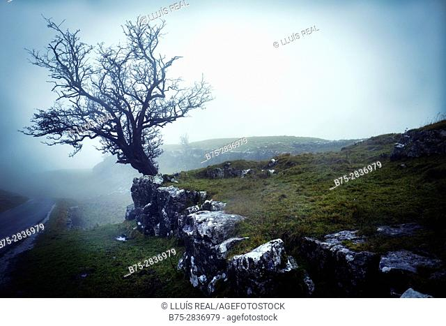 Close-up of a tree on a foggy day. Settal, Craven, Yorkshire Dales, North Yorkshire UK
