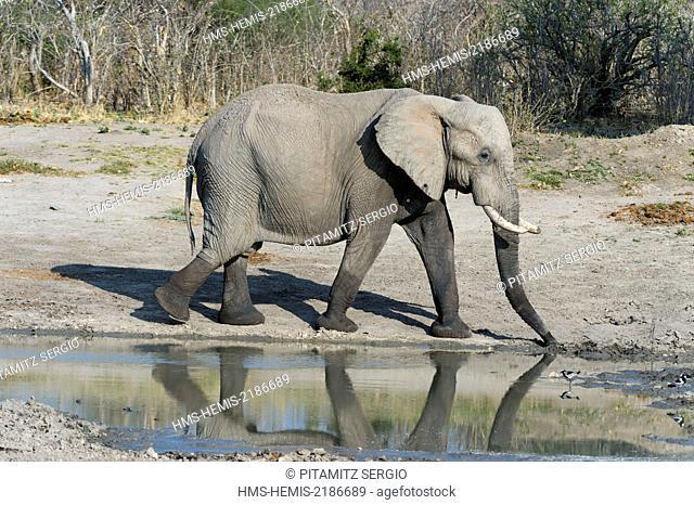 Botswana, Chobe National Park, Savuti Marsh, African elephant (Loxodonta africana)