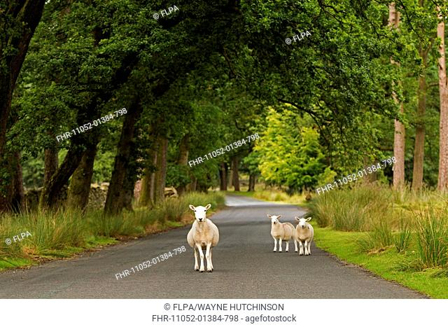 Domestic Sheep, Cheviot, ewes, standing on road, Trough of Bowland, Lancashire, England, July