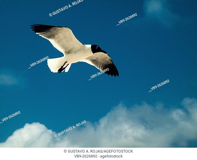 1 Bird Flying Gull Bonaparte 1 Animal Flying Gull Bonaparte in sky (Chroicocephalus philadelphia), South America archipiélago Los Roques Venezuela'