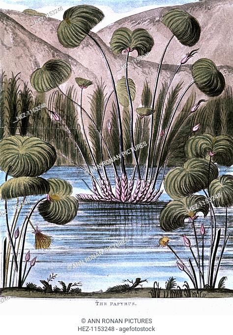 Papyrus reed (Cyperus papyrus), 1823. The stem of the reed was used by the Ancient Egyptians to make a form of paper. It was also used to produce fibre for...