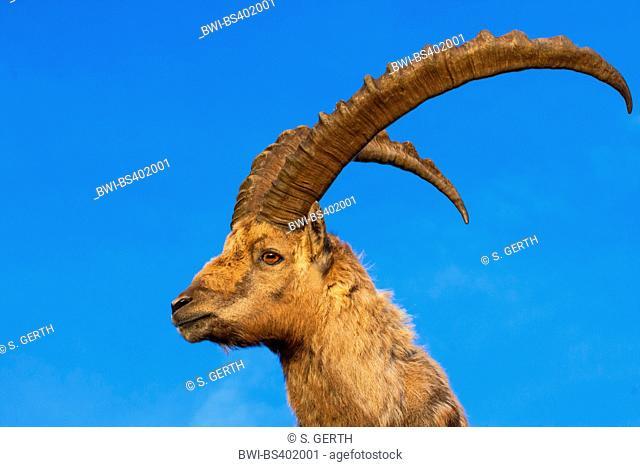 Alpine ibex (Capra ibex, Capra ibex ibex), portrait in morning light in front of blue sky, Switzerland, Alpstein, Saentis