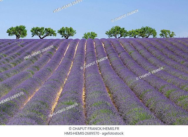 France, Alpes de Haute Provence, Parc Naturel Regional du Verdon, Valensole Plateau, lavender field