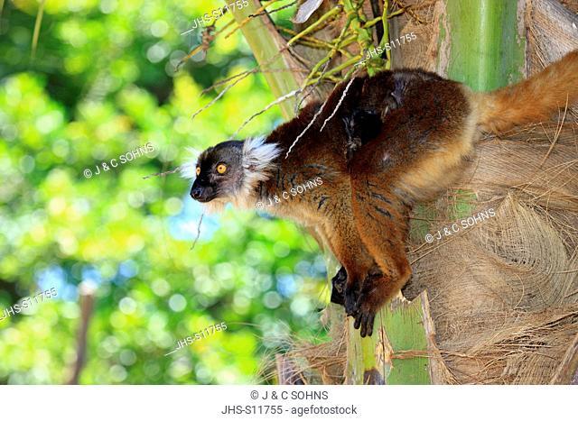 Black Lemur, Eulemur macaco, Nosy Komba, Madagascar, Africa, adult female