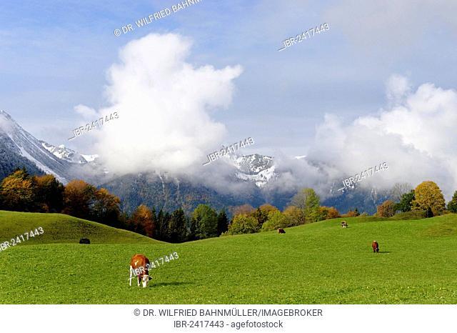 Alpine meadow, Hochkreut, Bayrischzell, Upper Bavaria, Bavaria, Germany, Europe