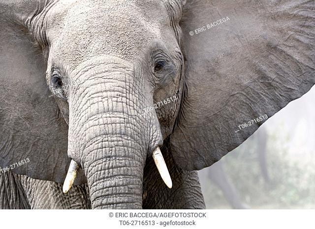 African elephant head portrait (Loxodonta africana) Queen Elizabeth National Park, Uganda, Africa