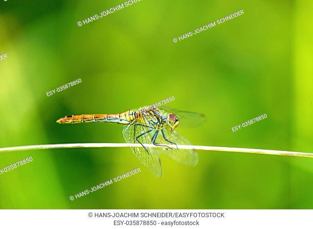 black-tailed skimmer, Orthetrum cancellatum, European dragonfly of Germany