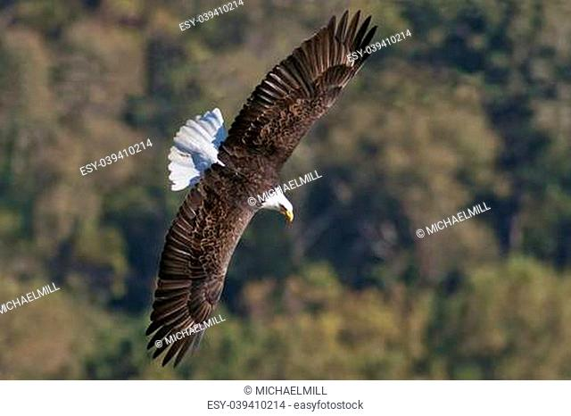 Bald Eagle in flight with wings spread while hunting