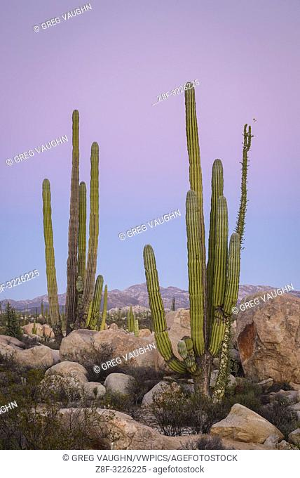 Cardon cactus and Boojum tree; Valle de los Cirios, Catavina Desert, Baja California, Mexico
