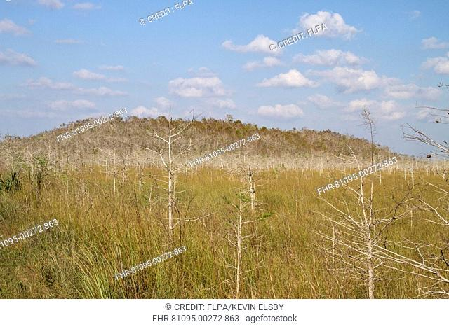 View of dwarf cypress savannah habitat, formed by Pond Cypress (Taxodium ascendens) growing with limited nutrients, Everglades N.P., Florida, U.S.A