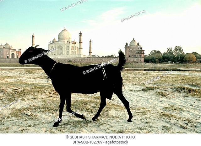 Black goat banks river Yamuna flowing Taj Mahal Agra Ancient animal artist artistic beautiful blue sky clouds Color constructed 1631 A.D -1648 A