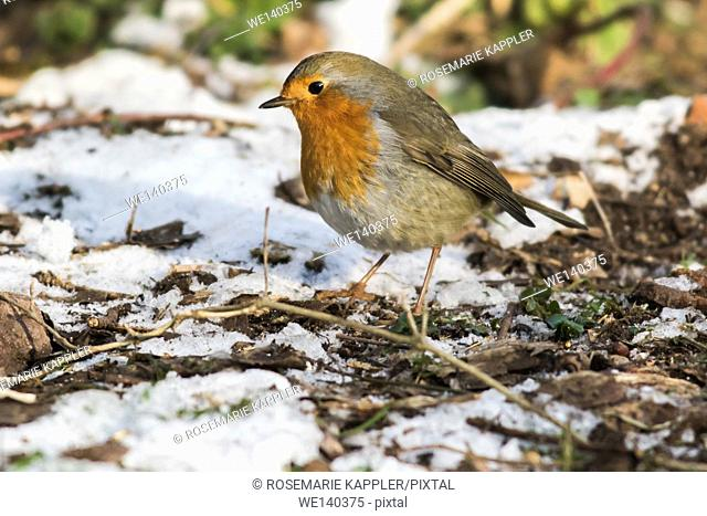 Germany, Saarland, Bexbach, A robin redbreast is searching for fodder in the snow