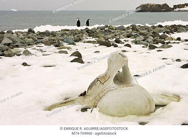 Beach with whale bones vertebra, Penguin Island, South Shetland Islands, Antarctica