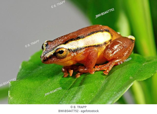 Mitchells reed frog (Hyperolius mitchelli), sitting on a leaf