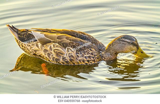 Mallard Duck Female Feeding Juanita Bay Park Lake Washington Kirkland Washiington