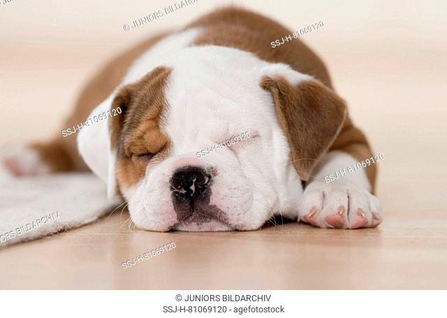 Continental Bulldog. Puppy sleeping next to a rug. Germany