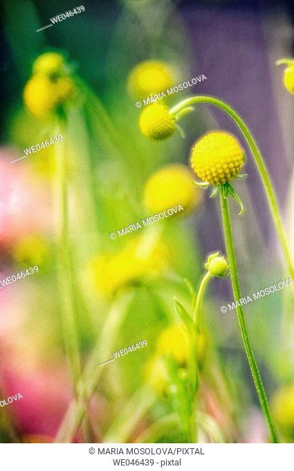 Windywillow (Cephalaphora aromatica). Maryland, USA
