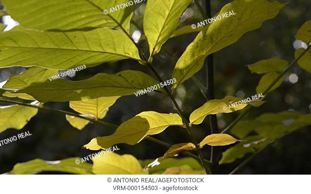 walnut leaves. Almansa. Albacete province