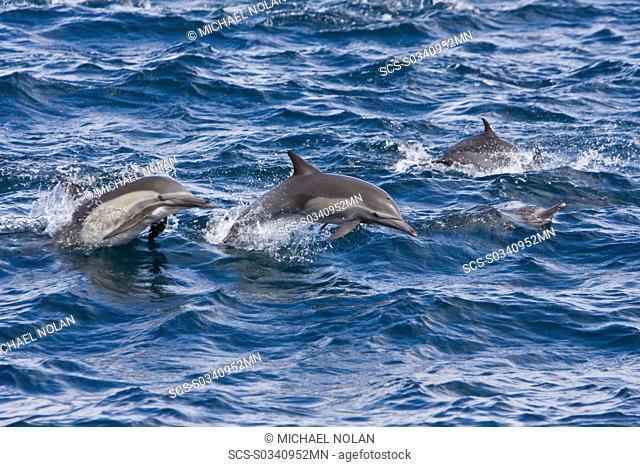 Long-beaked Common Dolphin pod Delphinus capensis encountered off Isla Espiritu Santo in the southern Gulf of California Sea of Cortez, Baja California Sur