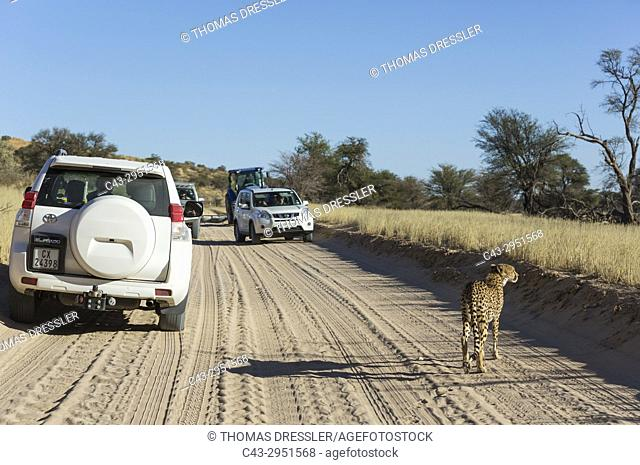 Cheetah (Acinonyx jubatus). Female on a earth road next to tourist vehicles. Kalahari Desert, Kgalagadi Transfrontier Park, South Africa
