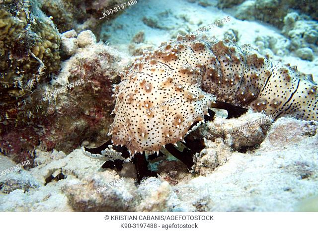 Close up of Gaeffe's Holothurian or Sea Cucumber Boadschia gaeffei feeding with tentacles extended,, Indian Ocean, Maldives, South Asia