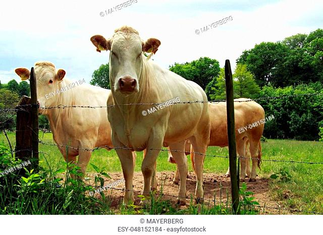 The Blonde d'Aquitaine is a typical French cow breed bred for the meat