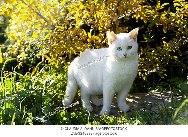 Beautiful white odd eyed kitten standing in the garden in front of fall foliage and looking at camera