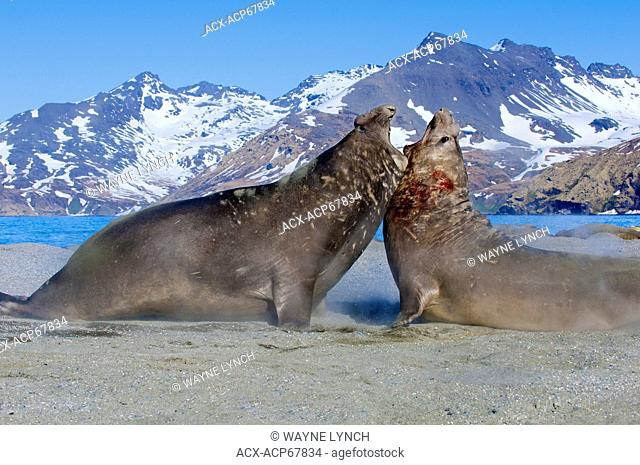 Southern elephant seal (Mirounga leonina) bulls fighting for a territory on the beach, St. Andrews Bay, Island of South Georgia, Antarctica