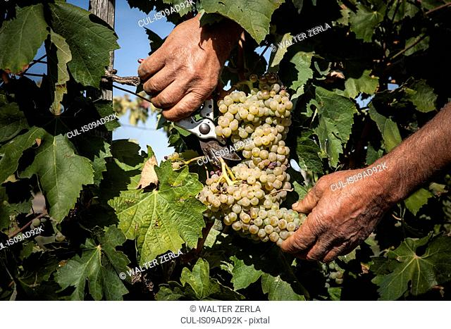 Cutting white grapes