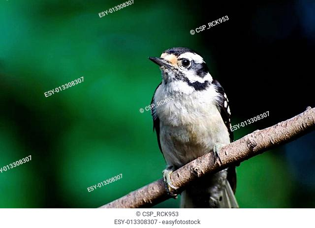 Downy Woodpecker Against a Green Background