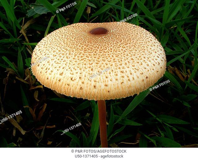 Mushroom, Basidiomycetes, 2009