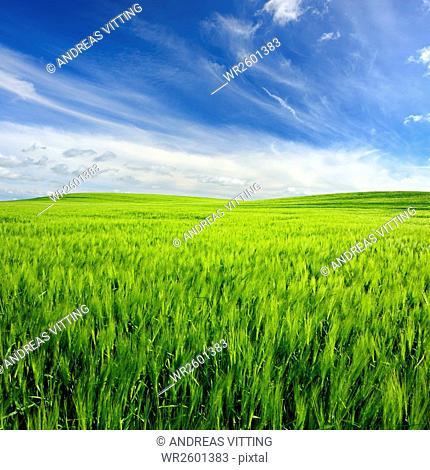 Green field with barley under blue sky in spring, Nature Park Unteres Saaletal, Saalekreis district, Saxony Anhalt, Germany