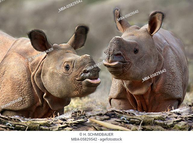Two young armoured rhinoceroses, Rhinoceros unicornis