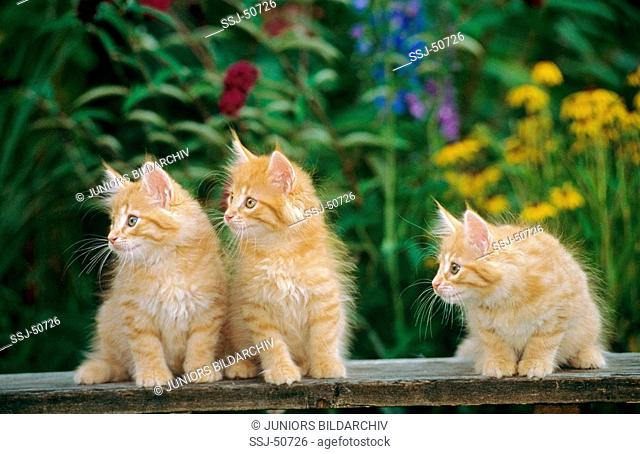 three young Norwegian Forest cats in front of flowers