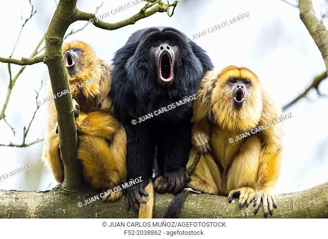 Netherlands, Apenheul, Black howler monkey ( Alouatta caraya )