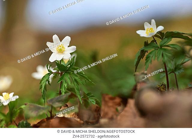 Close-up of wood anemone (Anemone nemorosa) blossoms in spring, Germany