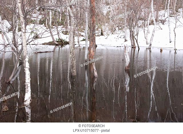 White Birch in Pond, Lingering Snow around the Pond
