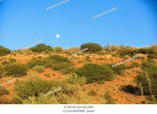 A bush-covered dune and blue sky, Kgalagadi Transfrontier Park, Botswana, South Africa